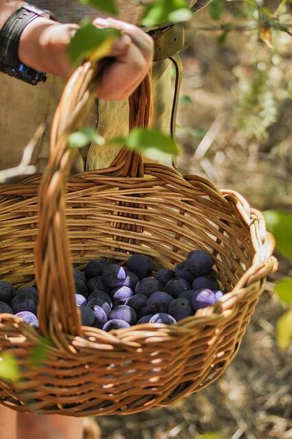 Damons Basket Harvest Harvesting